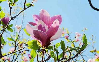 Magnolia Wallpapers Px Hipwallpaper