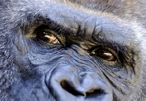 great apes facts animal facts encyclopedia