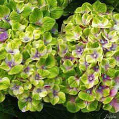 Pilea Pflanze Kaufen : pilea glauca jardineria pinterest rare plants and plants ~ Michelbontemps.com Haus und Dekorationen
