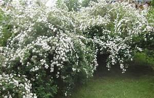 Here Comes The Bridal Wreath  Spirea Vanhouttei