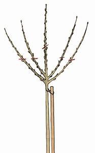 Taille De Cerisier : la taille de formation des fruitiers haute tige ~ Melissatoandfro.com Idées de Décoration
