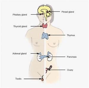 Diagram Endocrine System Unlabeled