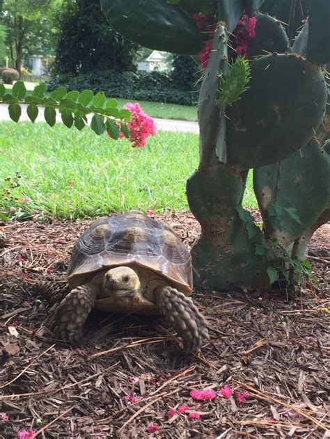 sulcata tortoise bedding 10 images about turtles i m a lovin on