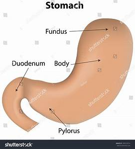 Stomach Labeled Diagram Stock Vector 180516914