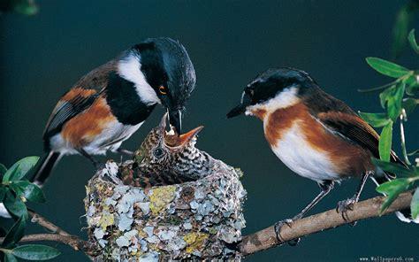 the parent birds feed her baby bird 1920x1200 animal
