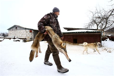 Grey wolves have thrived in chernobyl. Hunting wolves in the Chernobyl nuclear exclusion zone ...