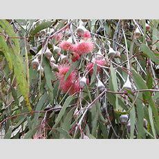 How To Plant Australian Native Plants  Mallee Native Plants