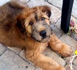 wesley crusher the wheaten terrier puppy fauxspectacles