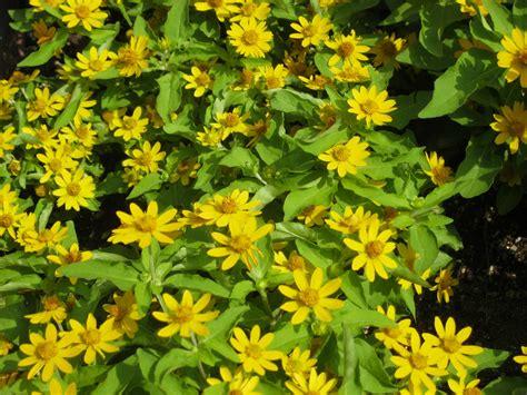 gelb blühender strauch kostenlose foto blume immergr 252 n botanik gelb flora