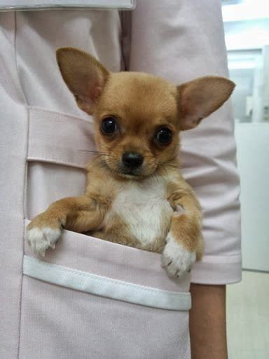 Pocket Chihuahua This Is Why People Love Pocket Dogs
