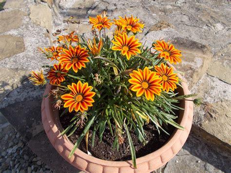 pianta fiori arancioni fiori arancioni foto immagini piante fiori e funghi