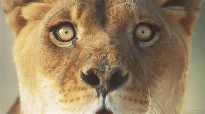 Lion Wildlife Animals Jaguar Nature Tiger Cats