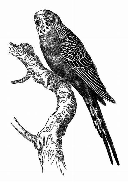Bird Illustration Digital Parakeet Artwork Drawing Sparrow
