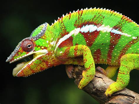 types of chameleons beautiful and colorful panther chameleon pictures amazing creatures