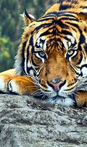 Wild Tiger's Fragile State Underestimated - Welcome to Iran