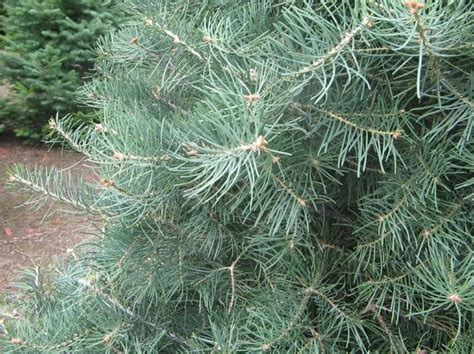 concolor smell like oranges christmas trees 9 best concolor fir images on firs tree and trees