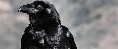 Raven Bird 1080p Beak Dual Wide