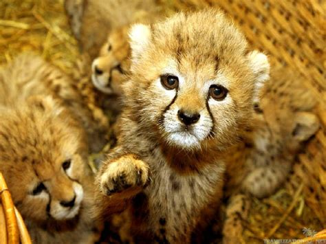 cute baby animal wallpaper wallpapertag