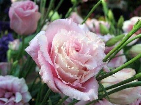 web tv cuisine le lisianthus une magnifique fleur à couper