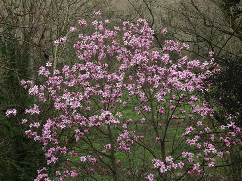 magnolia tree sapling 6th march the garden diary