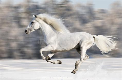 horse horses gallop motion snow cheval winter galop cavallo bianco blanc mouvement running hiver blur witte cavalo inverno floue galloping