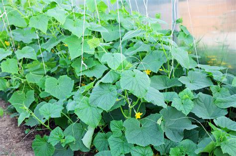 gurken anbauen  gelingt der anbau
