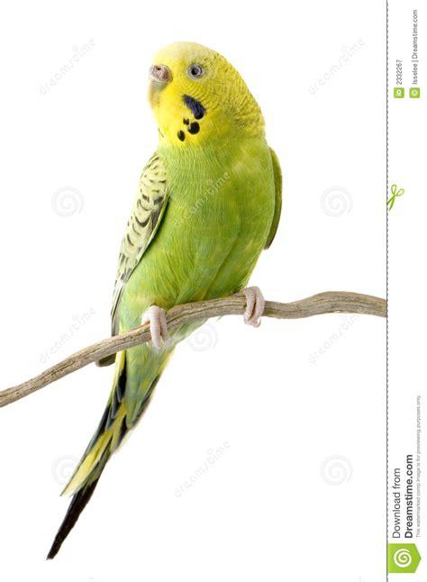 budgerigar parakeet clipart clipground