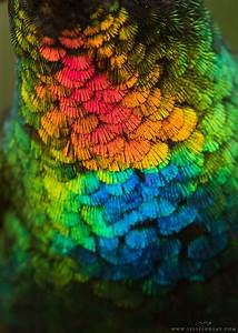 A spectacular close up view of a fiery throated for A spectacular close up view of a fiery throated hummingbird