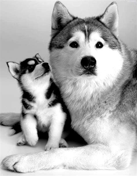 essential facts husky lovers