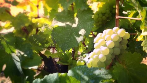 Sauvignon Blanc Definitionmeaning