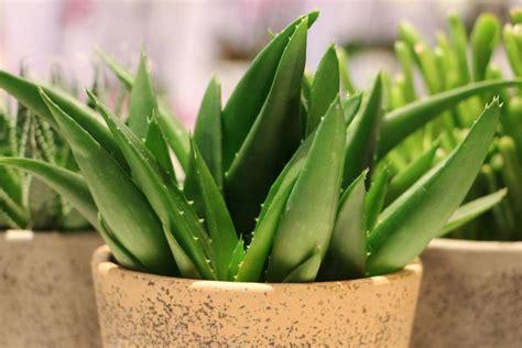 aloe vera pflanze umtopfen aloe vera haltung der pflanze pflege gie 223 en und