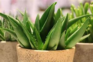 Aloe Vera Umtopfen : aloe vera haltung der pflanze pflege gie en und umtopfen ~ Eleganceandgraceweddings.com Haus und Dekorationen