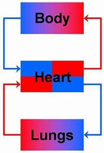Human Circulatory System Diagram For Kids