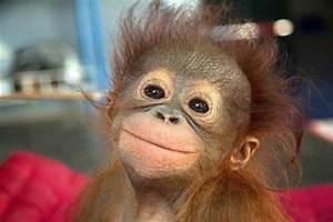 An Adorable Baby Orangutan - Alligator Sunglasses
