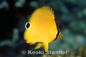 black backed butterflyfish chaetodon melannotus