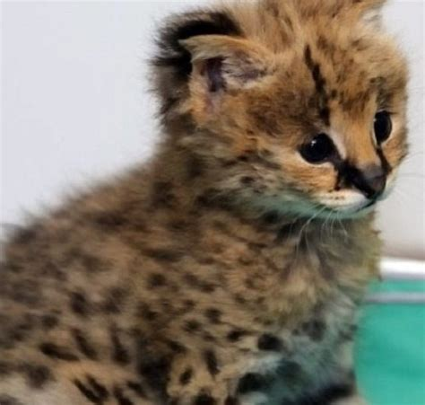 cheetah kitten   love pinterest kittens