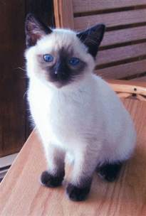 cat for best 25 balinese cat ideas on adorable