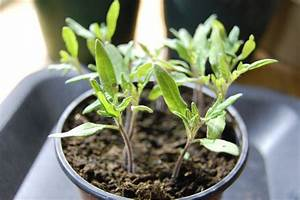 Planter Des Graines De Tomates : apprendre semer des tomates ~ Dailycaller-alerts.com Idées de Décoration