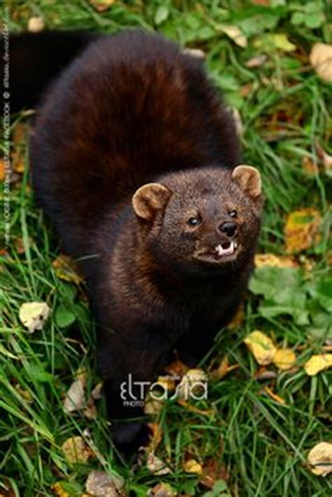 102 Best Marten and Fisher images Ferrets Otters Pine