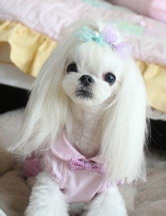korean cut maltese dogs forum spoiled maltese forums