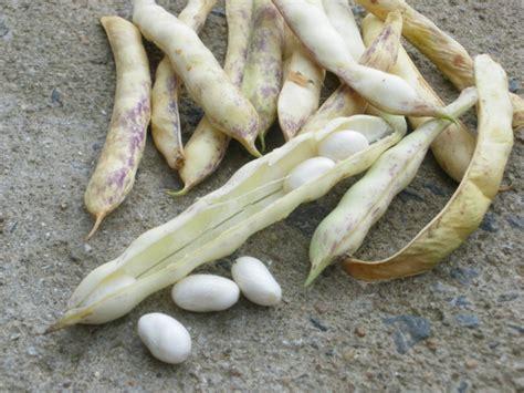 cuisiner les cocos de paimpol haricot coco type paimpol la boîte à graines