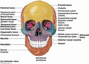 Human skull anatomy anterior view - Anatomy Note