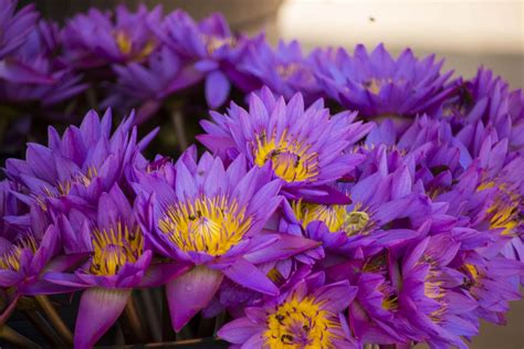 beautiful manel flower  national flower  sri