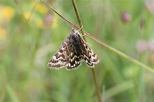 North Downs and beyond: Day-flying moths