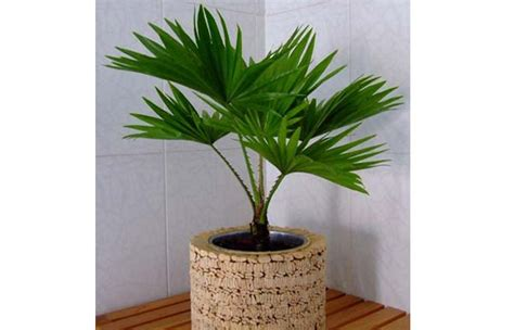 le pour plante interieur plante d int 233 rieur les palmiers d int 233 rieur plantes d int 233 rieur laquelle choisir pour ma