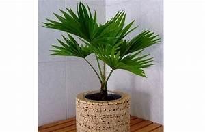 Plantes Exotiques D Intérieur : plante d 39 int rieur les palmiers d int rieur plantes d int rieur laquelle choisir pour ma ~ Melissatoandfro.com Idées de Décoration
