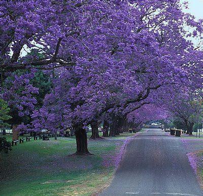 california tree with purple flowers california lilac tree flowers trees i love pinterest gardens beautiful and secret