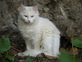 white cat white cat pics and white cat wallpapers and photos and