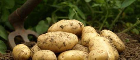 comment cuisiner les pommes de terre de noirmoutier les pommes de terre primeur et les pommes de terre nouvelles histoire variétés et cuisine