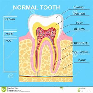 Illustration Of Human Tooth Diagram  Tooth Structure